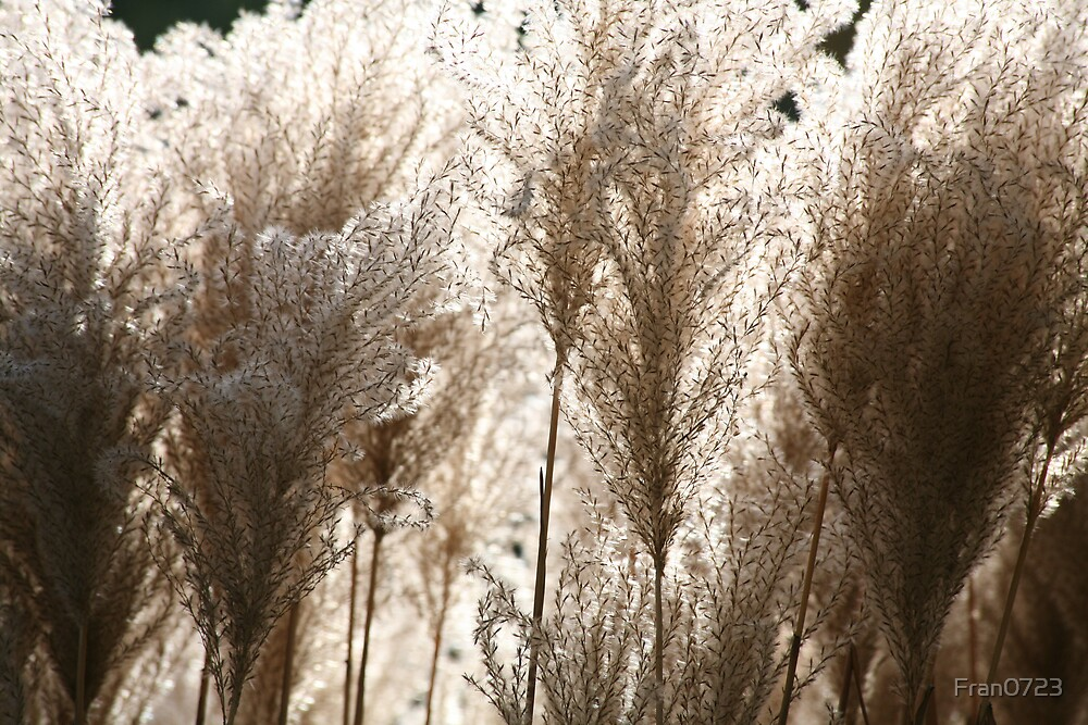 Pampas Grass by Fran0723