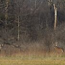 the Rut - White-tailed deer by Jim Cumming