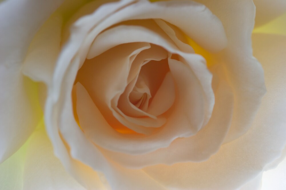 Perfect Peach Rose by Dorothy DuMond Cohen