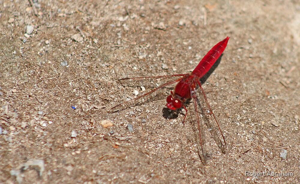 Scarlet Darter by Robert Abraham