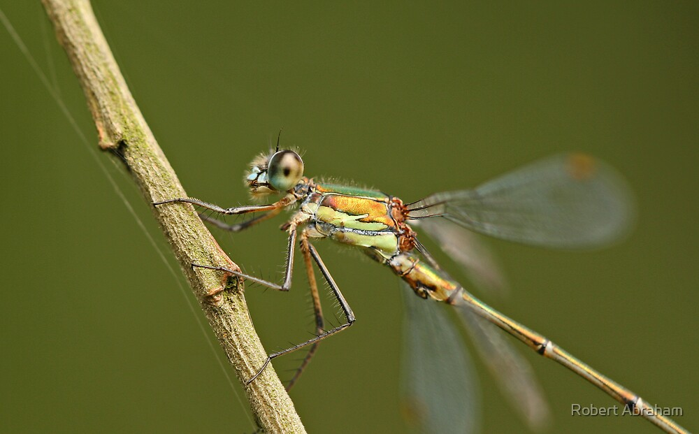 Willow Emerald Damselfly by Robert Abraham