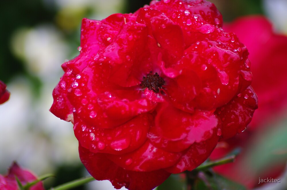 A Spainsh Wet Rose by jackitec