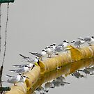 Forster's Tern Hangout by Kimberly Palmer