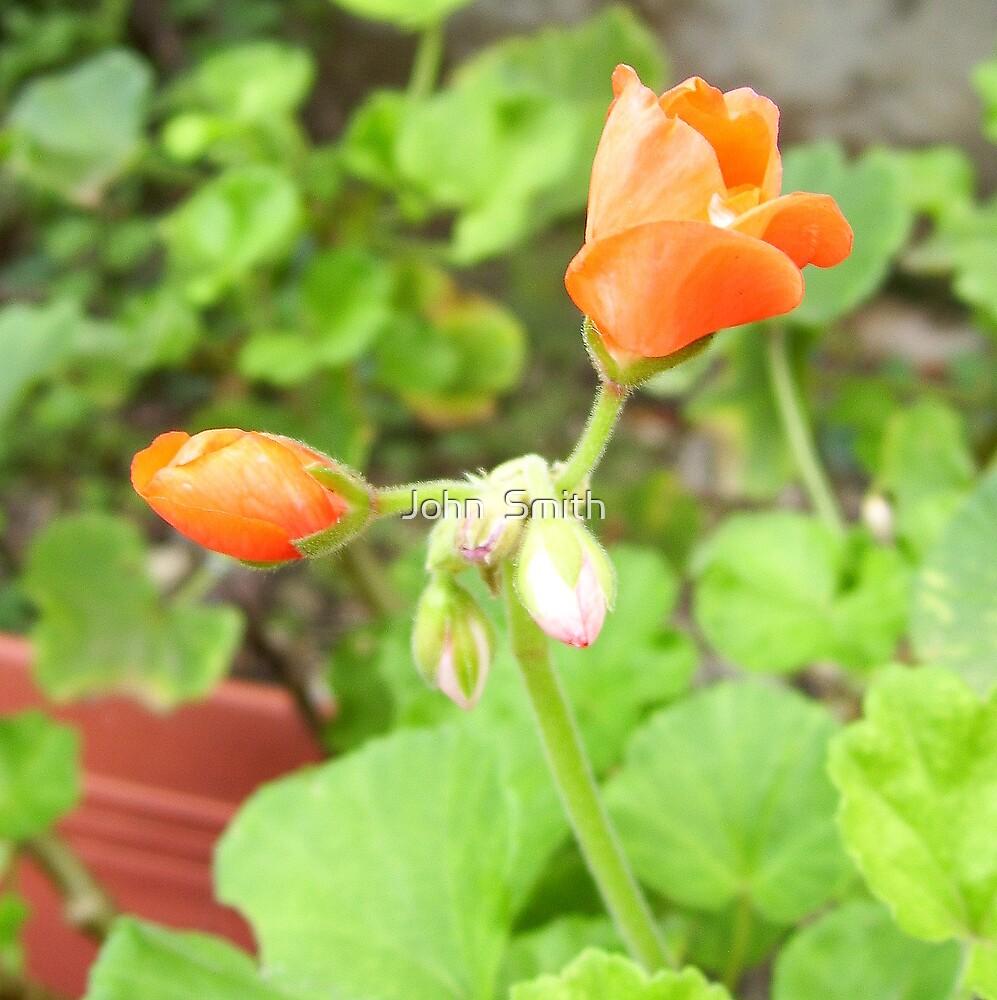 """Geranium."" by John  Smith"