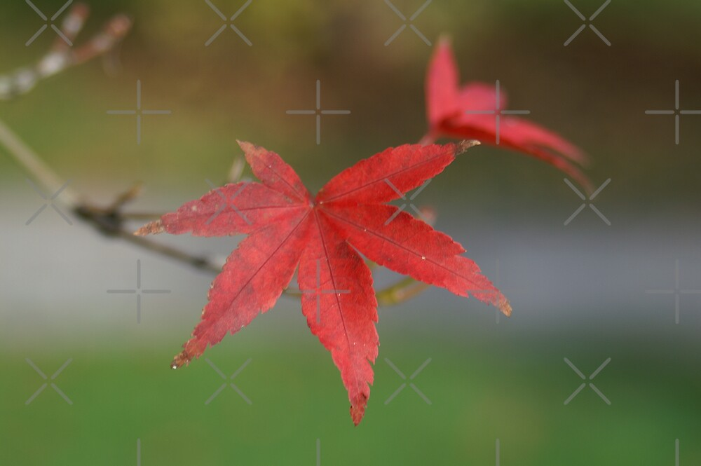 Japanese maple by poupoune
