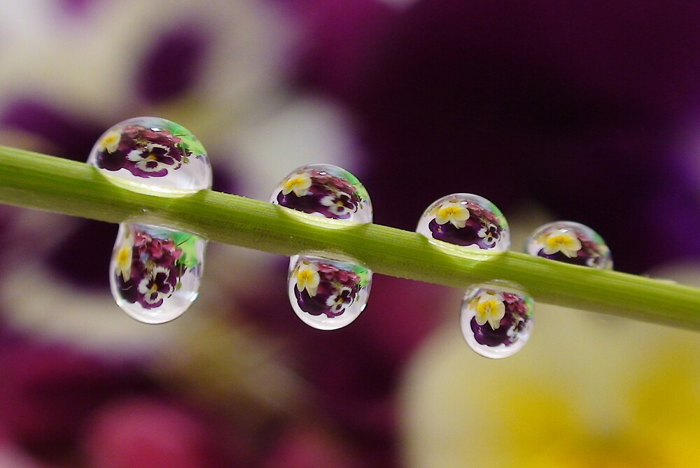 Pansy water droplets by len Janes