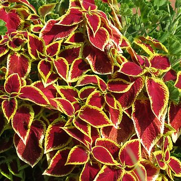 Blaze of Glory - Red Coleus in Autumn by kathrynsgallery