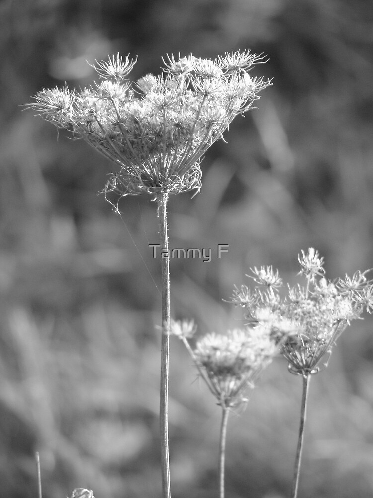 Queen Anne's Lace in B&W by Tammy F