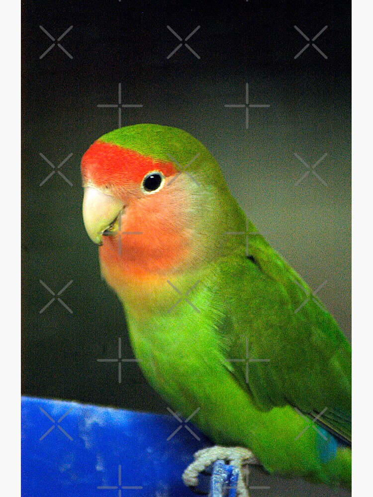 Love Bird by claytonbruster