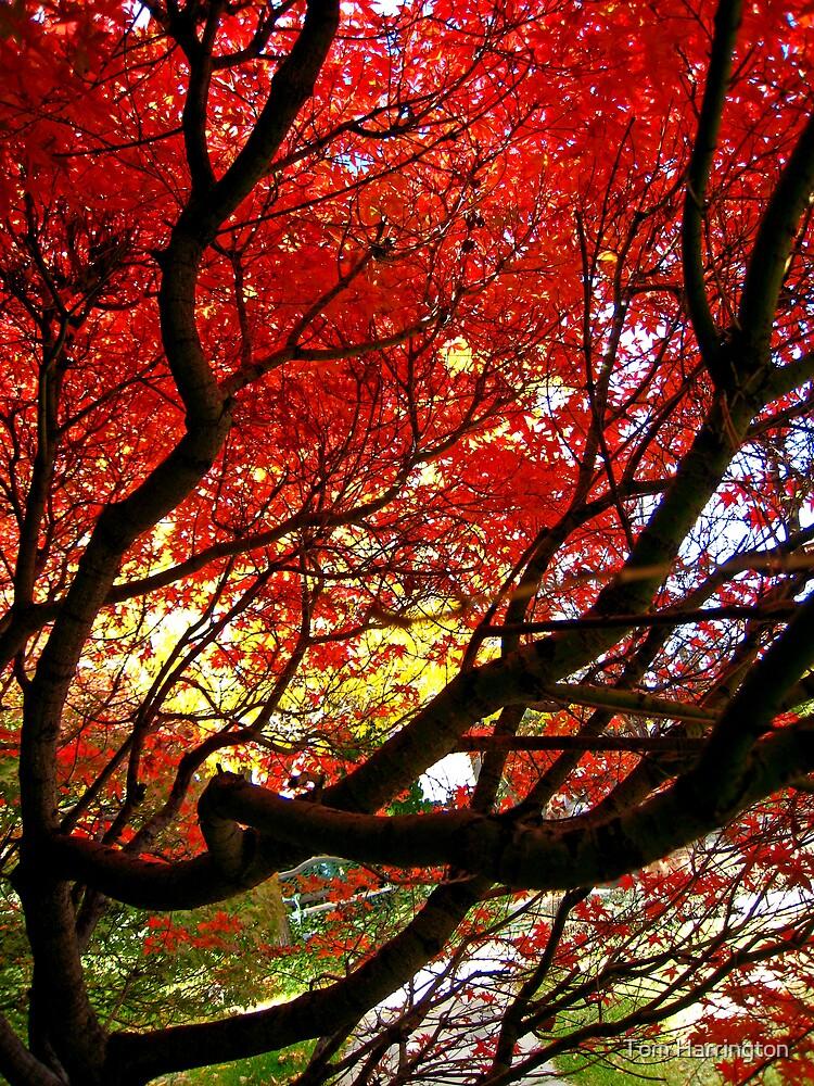 Within the maple tree by Tom Harrington
