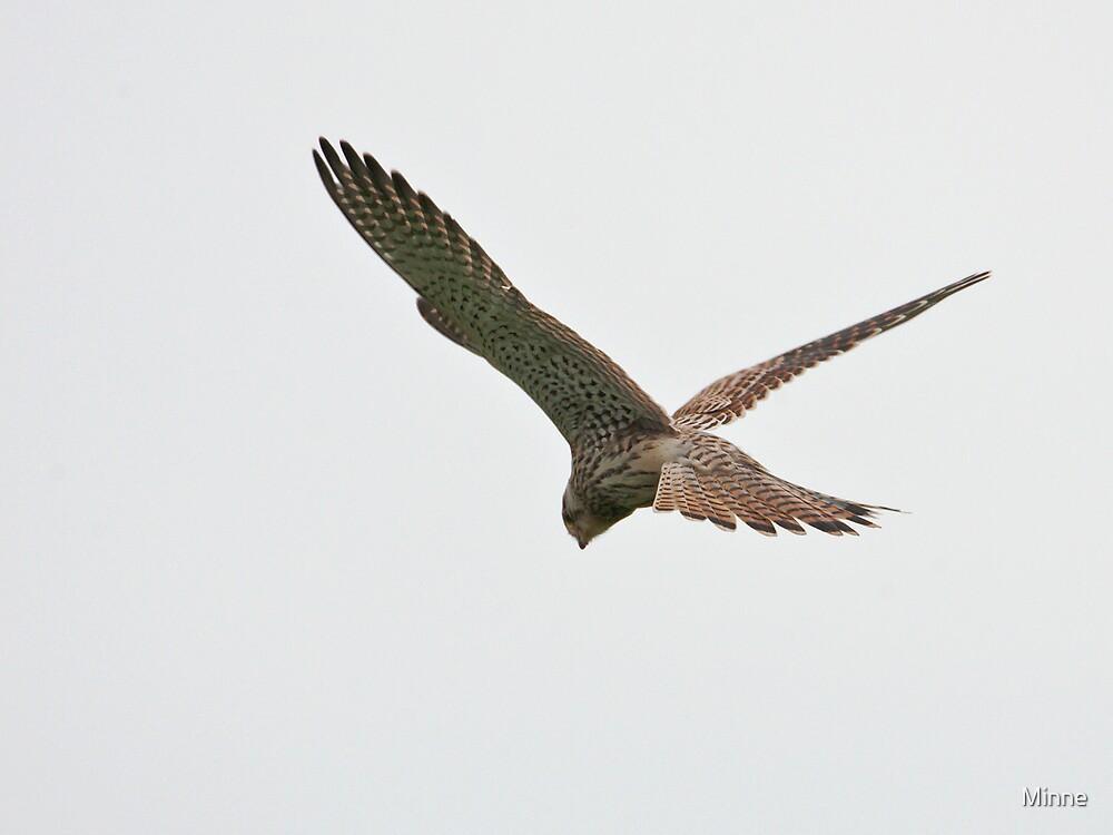 Common Kestrel by Minne