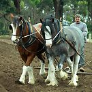Bright Bay and Blue Roan working the land by Bev Pascoe