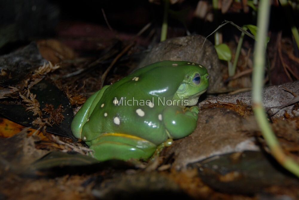 Green Tree Frog - Native Wild Life - Australia by Michael Norris