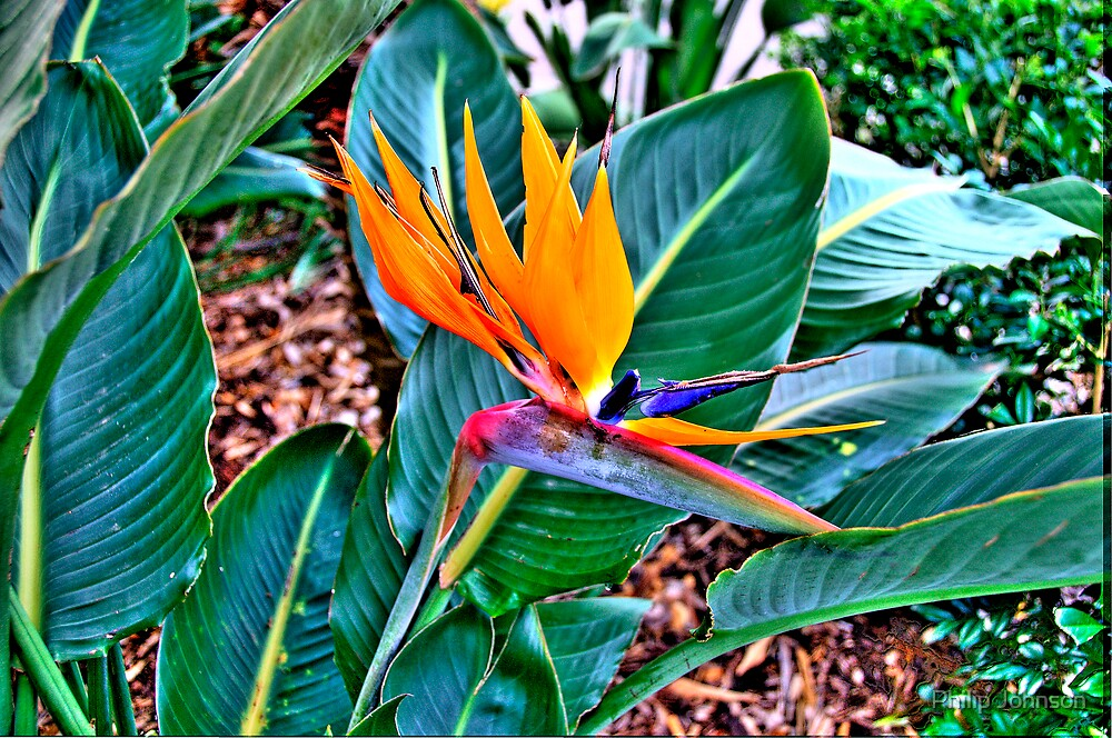 Bird Of Paradise - The HDR Series by Philip Johnson