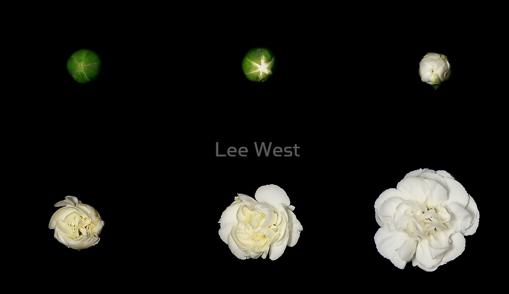 Growth of a Carnation by Lee West