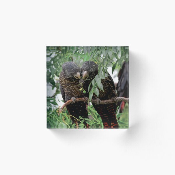 Care to Share-Female Red Tailed Black Cockatoos Acrylic Block