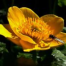 All in Yellow : Water or Lesser Celandine by AnnDixon