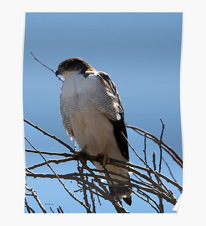 variable hawk Poster