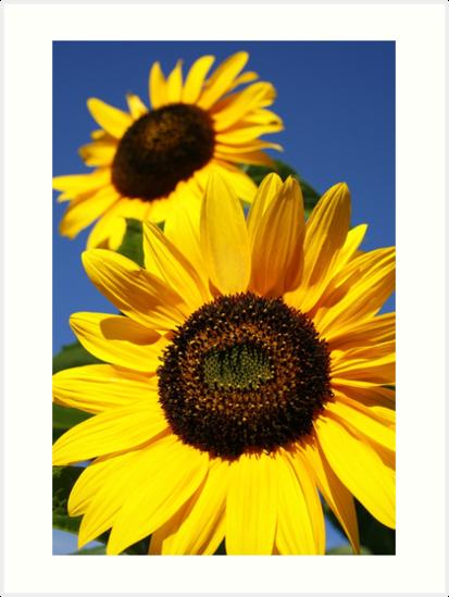 Sunflowers closeup by Gaspar Avila