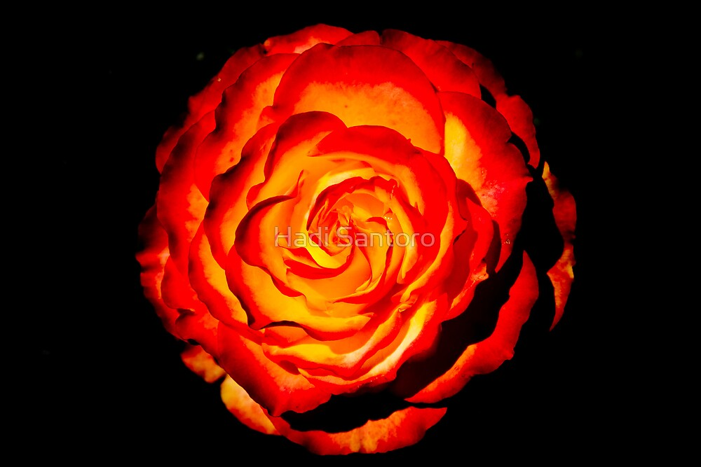 Red Rose by Hadi Santoro