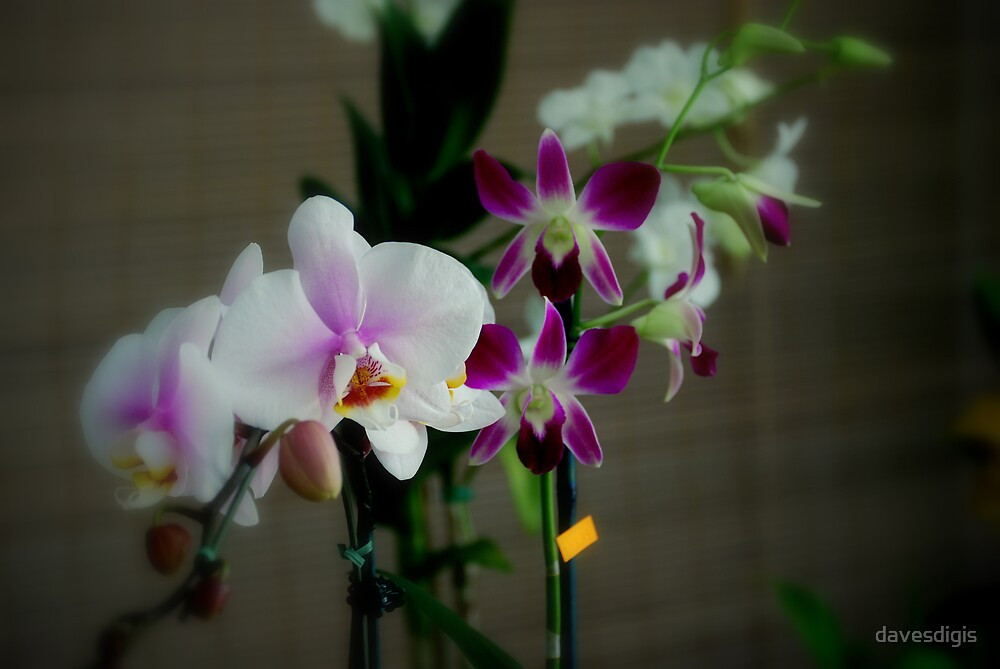 Delicate and Stunning Orchids by davesdigis
