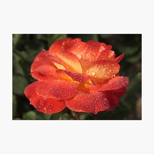 Sparkling Rose Photographic Print