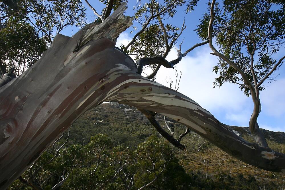 Cradle Mountain Gum by SkyPhotos
