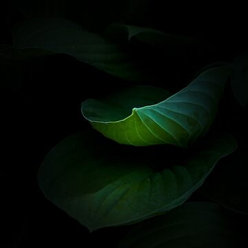 Hosta Leaves by ccsaintdawg21