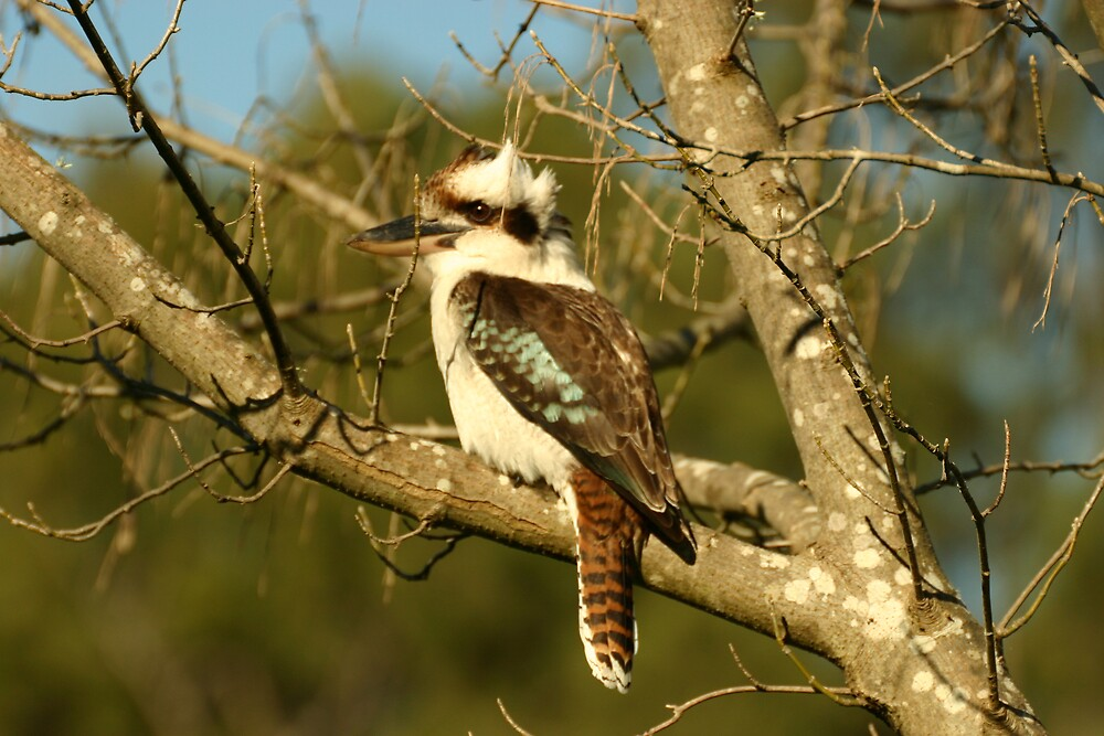 Kookaburra by SkyPhotos