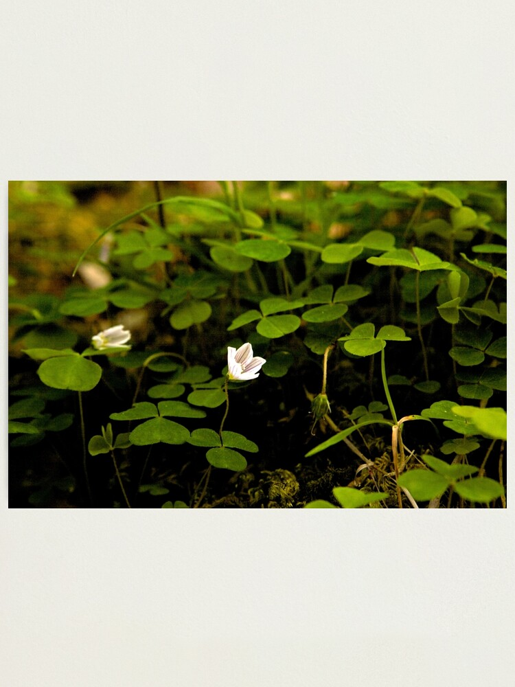Alternate view of Wood Sorrel, Ness Woods, County Derry Photographic Print