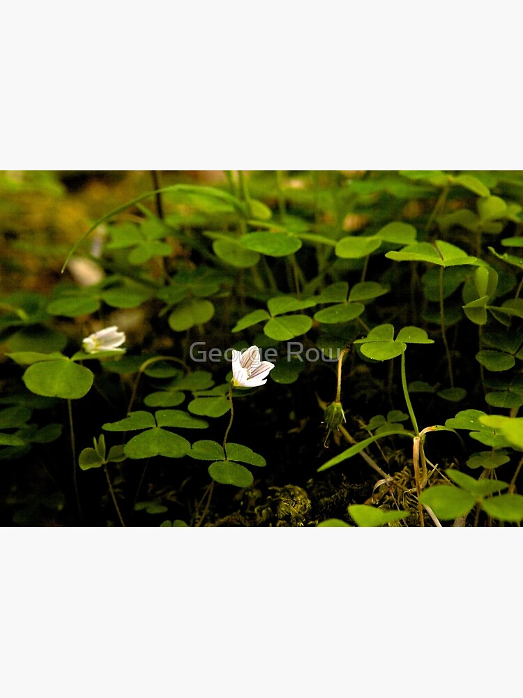 Wood Sorrel, Ness Woods, County Derry by VeryIreland