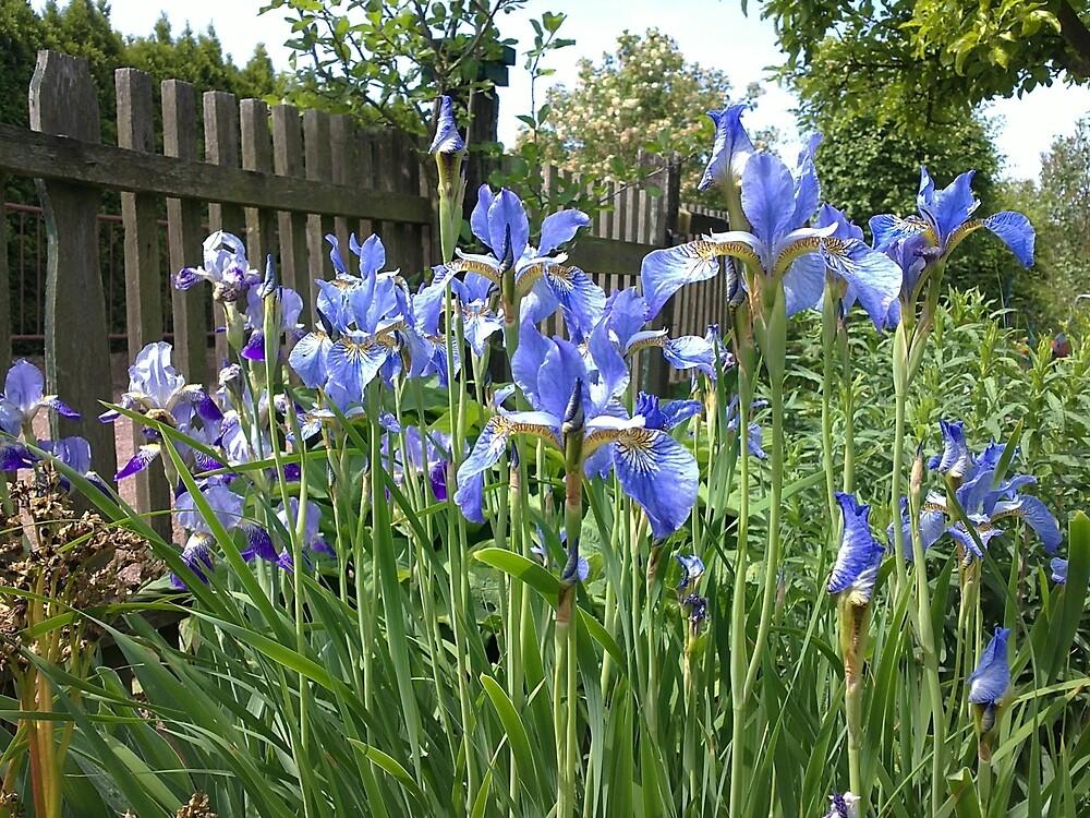Iris am Garten-Zaun von Gourmetkater