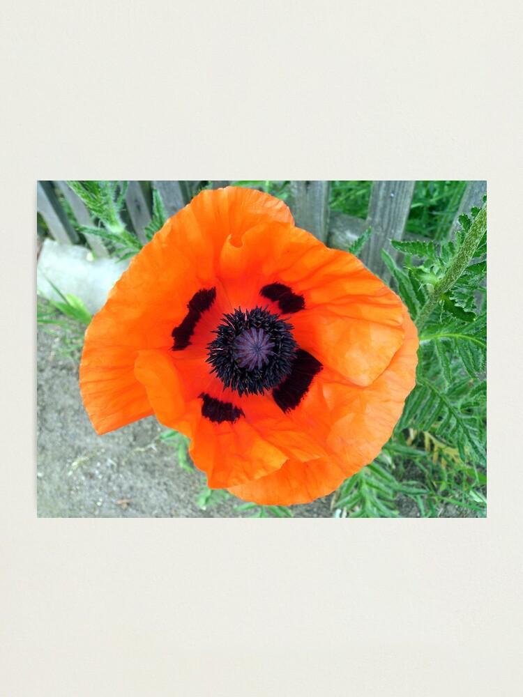 Alternative Ansicht von Große Mohn-Blüte Fotodruck