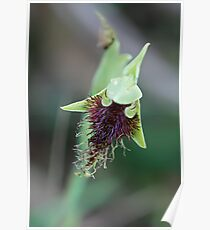Common Beard-Orchid Poster