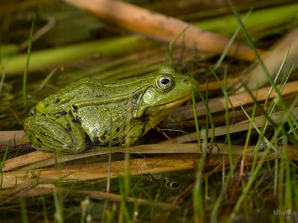 Green Frog by Minne