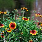Daisy Gloriosa at the Pond by Heather Friedman