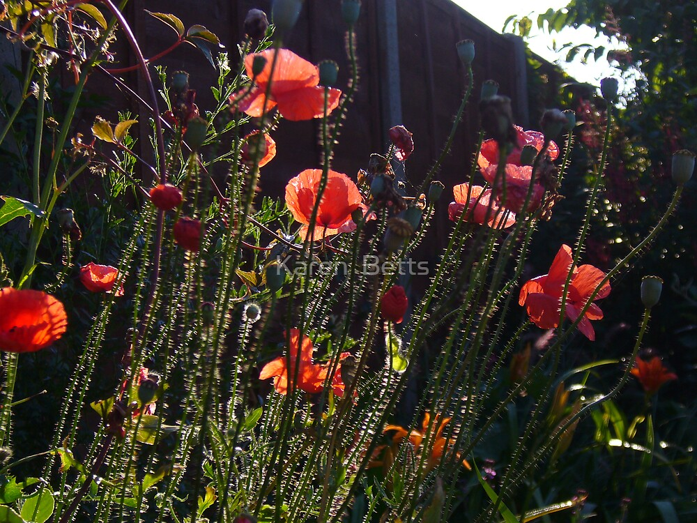 Poppies a glow. by Karen  Betts