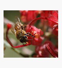 Bee June 2011 Photographic Print