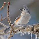 Tufted Titmouse by Michele Conner