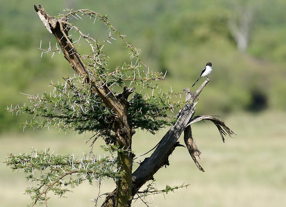 Sparrow by Yves Roumazeilles