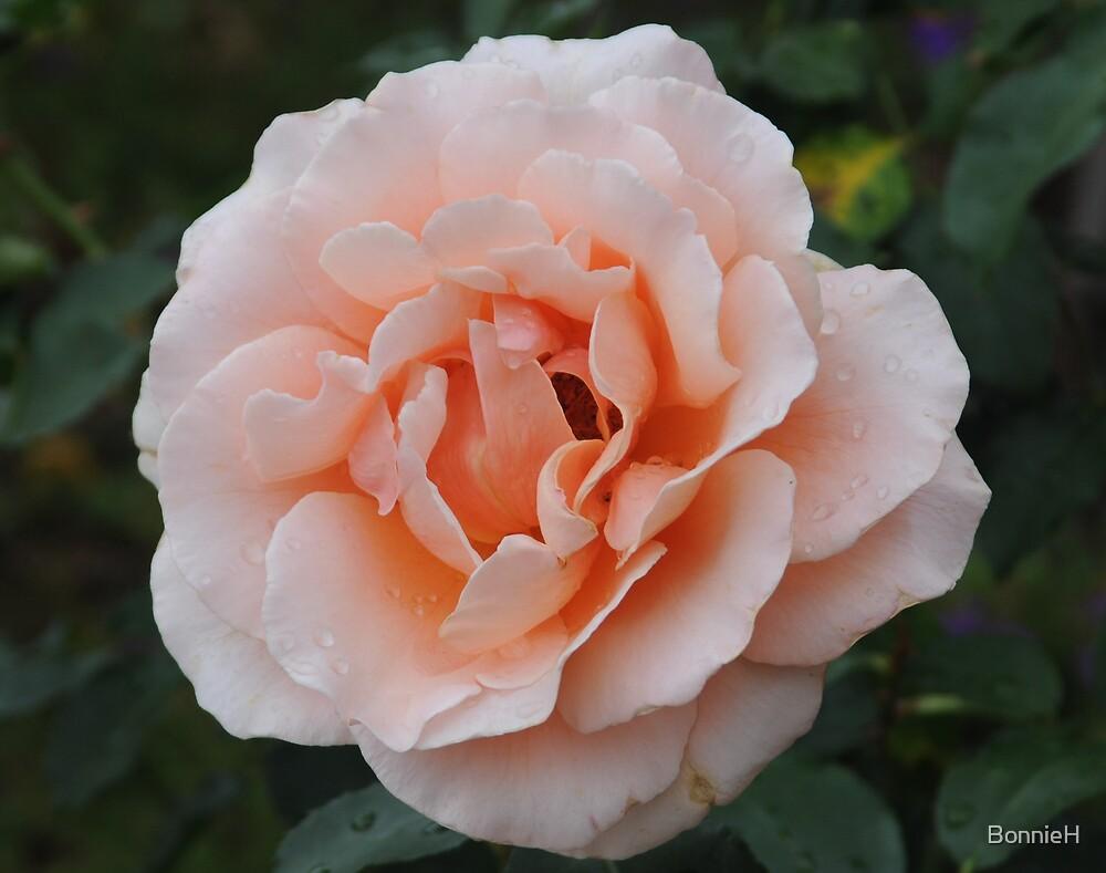 Peach coloured rose by BonnieH
