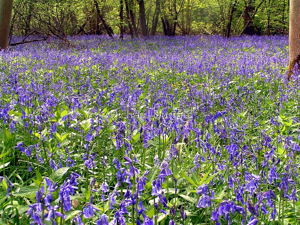 Bluebells by Richard Durrant