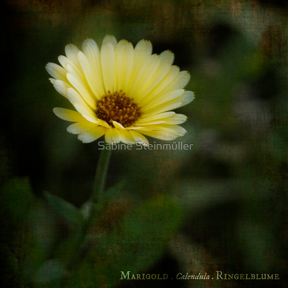 marigold. by Sabine Steinmüller