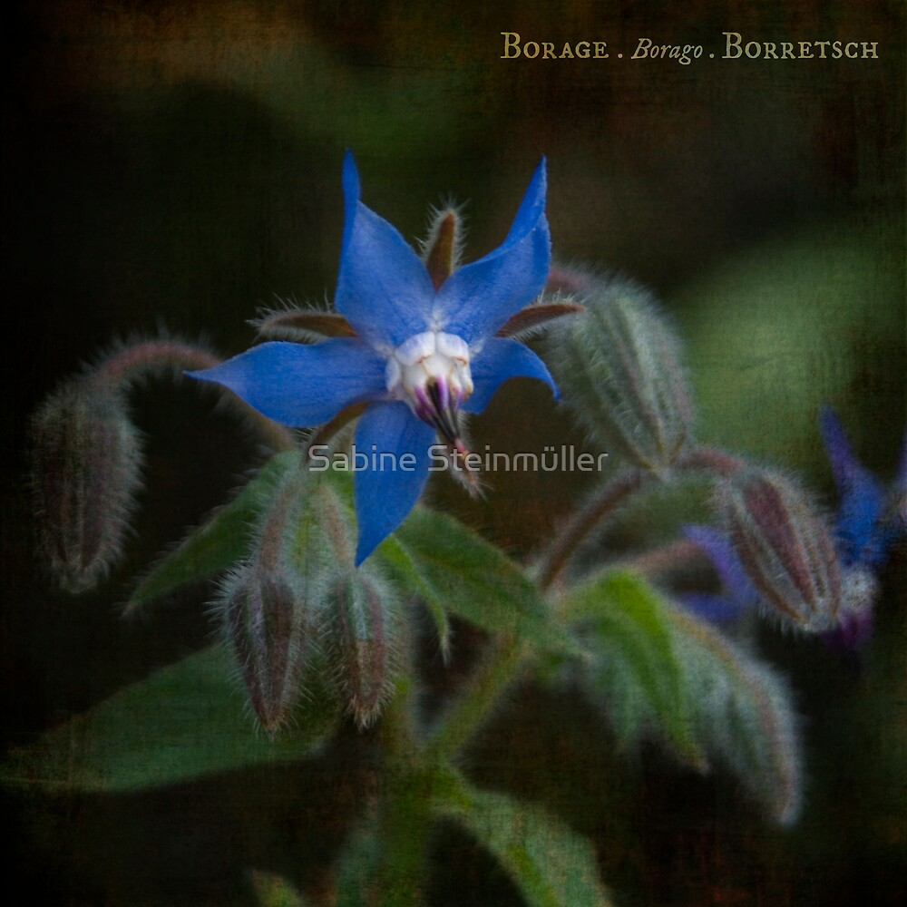 borage. by Sabine Steinmüller