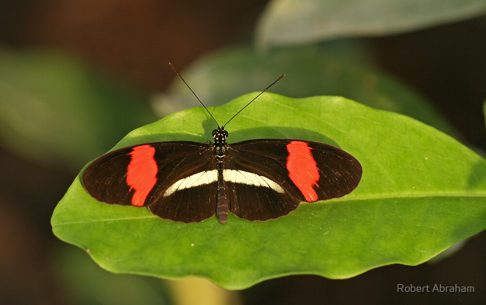 Small Postman Butterfly by Robert Abraham