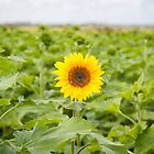 Isolated Sunflower in Field by Joshua McDonough Photography