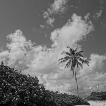 Cayman Palm by BlackDogCountry