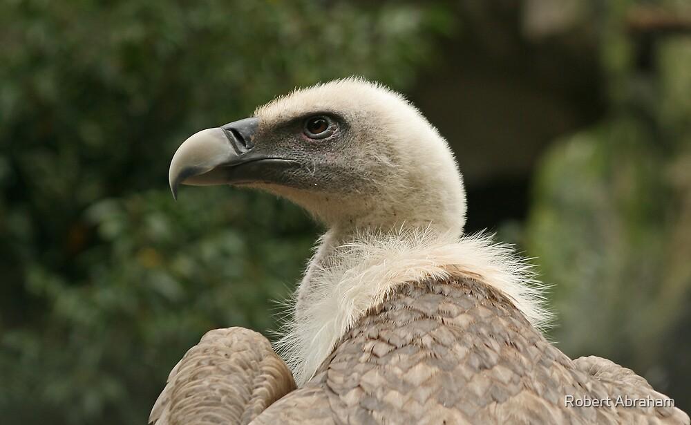 Griffon Vulture by Robert Abraham