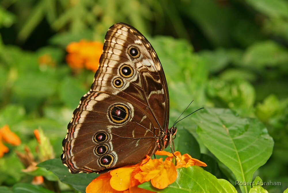 Common Blue Morpho Butterfly by Robert Abraham