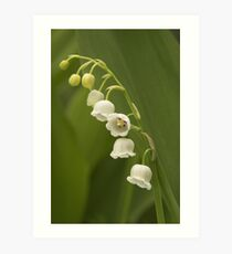 Lilly-of-the-Valley  Art Print